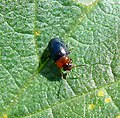 Leaf Beetle . Chrysomelidae - Flickr - gailhampshire.jpg