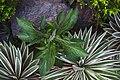 Leafy plant in Rizal Park.jpg