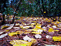 Leaves on a Forest Floor (3022315693).jpg