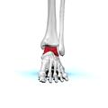 Left Talus bone 01 anterior view.png