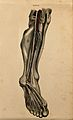 Leg and foot; dissection, with blood vessels and nerves indi Wellcome V0008395.jpg