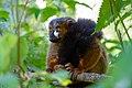 Lemur (31145355908).jpg