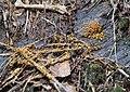 Leocarpus fragilis 89447607.jpg