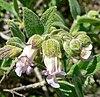 Lepechinia calycina 2