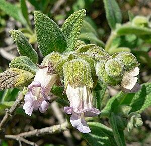 Lepechinia - Lepechinia calycina