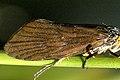 Lepidostoma.hirtum.wing.detail.jpg