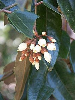 Leptolaena multiflora.jpg