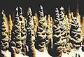 Les 100 000 Soldats Zoom - Grotte de TRABUC - Gard - France.JPG