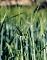 Les Plantes Cultivades. Cereals. Imatge 3222.jpg