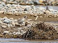 Lesser Sand Plover (Charadrius mongolus) (36465710832).jpg