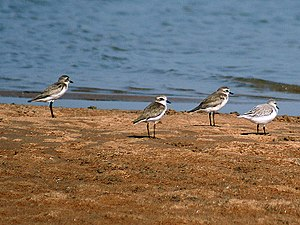 Plover - Lesser sand plover, Charadrius mongolus