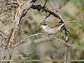 Lesser Whitethroat (Sylvia curruca) (43147191150).jpg