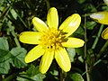 Lesser celandine (Ficaria verna aka Ranunculus ficaria) (26840861824).jpg