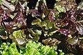 Lettuce (28136978105).jpg