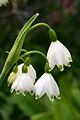 Leucojum (Giant or Summer Snowflake) In Flower Hampshire UK.jpg