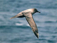Light sooty albatross flying