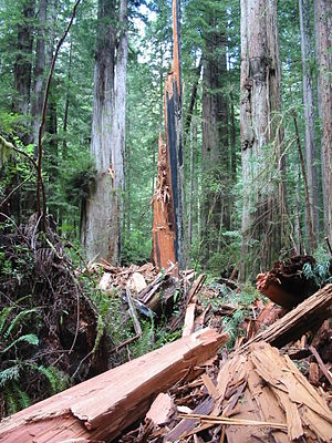 Prairie Creek Redwoods State Park - Lightning-shattered redwood, seen along Prairie Creek Trail, north of Tunnel Log
