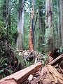 Lightning shattered redwood.jpg