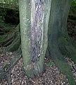 Lightning strike on a beech tree (Fagus sylvatica), Stewarton, Ayrshire.jpg
