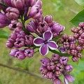 Lilac (20160407 141224 1JC) (28800963026).jpg