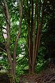 Lilienfeld - Naturdenkmal LF-021 - Parkanlage im Stift Lilienfeld - 10 - Stämme von Katsurabäumen (Cercidiphyllum).jpg