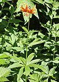 Lilium medeoloides (Mount Nukedo).jpg