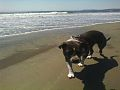 Lily Dog on the Beach is a service dog named Wilhelmina von Lillehammer aka Lillihammer.jpg