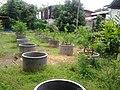 Lime garden in Nong khai, Thailand - panoramio (1).jpg