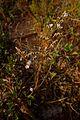 Limonium cossonianum0757.jpg