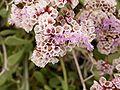 Limonium pectinatum (Los Cancajos) 03 ies.jpg