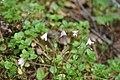 Linnaea borealis, Kihniö, Länsi-Suomen, Finland 1.jpg