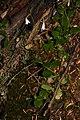 Linnaea borealis 1056.JPG