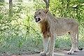 Lion (Panthera leo) young male ... (50141039736).jpg
