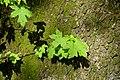 Liquidambar orientalis - Orto botanico - Rome, Italy - DSC09849.jpg