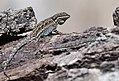 Lizards encounter each other (33632440340).jpg
