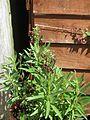 Lobelia polyphylla (9491842403).jpg