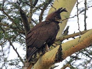 Long-crested eagle - Image: Long crested Eagle RWD3