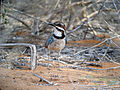 Long-tailed Ground-roller, Mangily, Madagascar.jpg