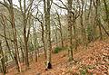 Long Wood, Kingswear.jpg