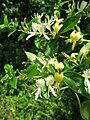 Lonicera japonica, flower.JPG