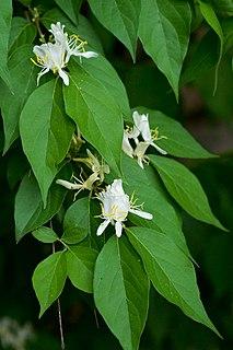 <i>Lonicera maackii</i> species of plant