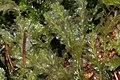 Lophocolea bidentata (d, 144736-474750) 9650.JPG
