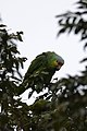 Loro Cachete Amarillo, Red Lored Parrot, Amazona autumnalis (11915833693).jpg