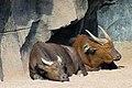 Los búfalos también se echan la siesta - Bioparc Valencia (2786702073).jpg