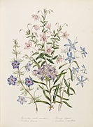 Loudon - The Ladies' Flower-Garden of Ornamental Annuals - pl. 9.jpg