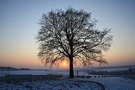 Lutherbuche im Winter...IMG 7859WI.jpg
