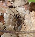 Lycosidae - Flickr - gailhampshire (3).jpg