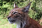 Lynx lynx- 4.   JPG