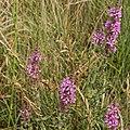 Lythrum salicaria-Salicaire-20160712 2.jpg
