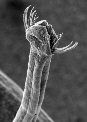 Detailaufnahme der Kopfregion eines Pfeilwurms